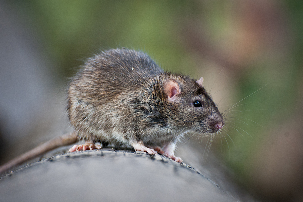 Mice control Richmond hill